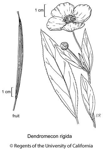 botanical illustration including Dendromecon rigida