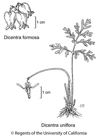 botanical illustration including Dicentra formosa