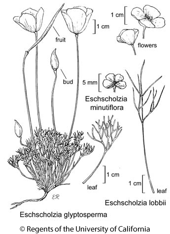 botanical illustration including Eschscholzia lobbii