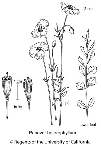 botanical illustration including Papaver heterophyllum