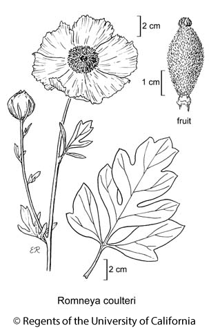botanical illustration including Romneya coulteri