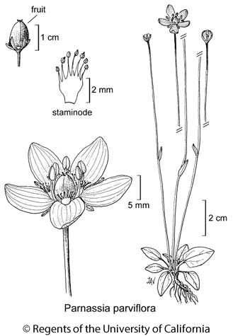botanical illustration including Parnassia parviflora
