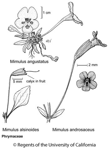 botanical illustration including Mimulus androsaceus