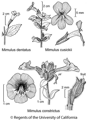 botanical illustration including Mimulus cusickii