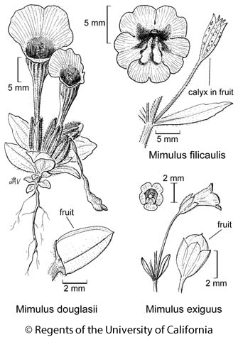 botanical illustration including Mimulus exiguus
