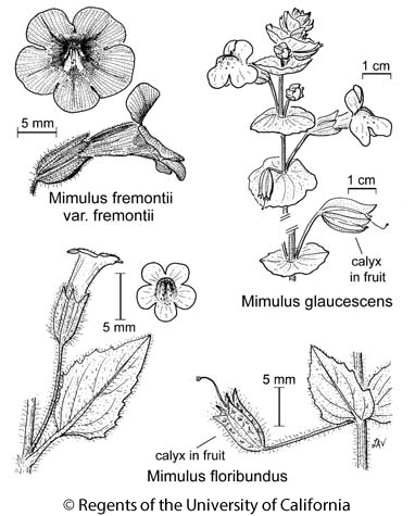 botanical illustration including Mimulus fremontii var. fremontii