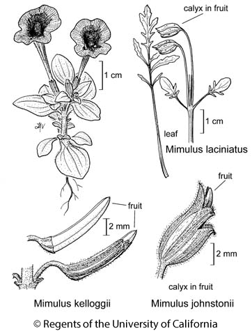 botanical illustration including Mimulus kelloggii