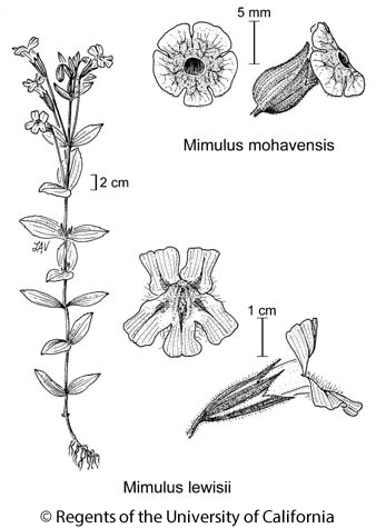 botanical illustration including Mimulus lewisii