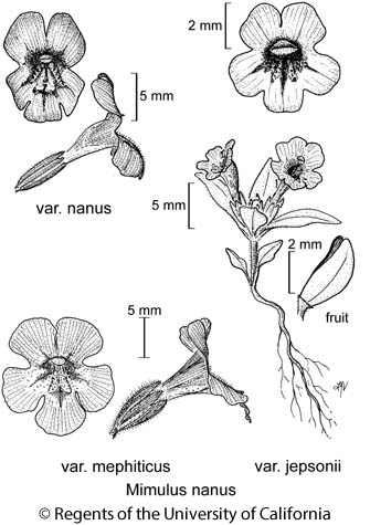 botanical illustration including Mimulus nanus var. mephiticus