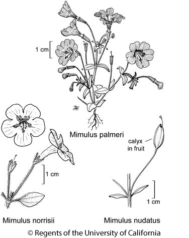 botanical illustration including Mimulus palmeri