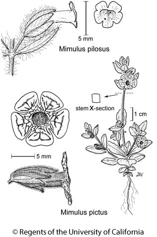 botanical illustration including Mimulus pilosus