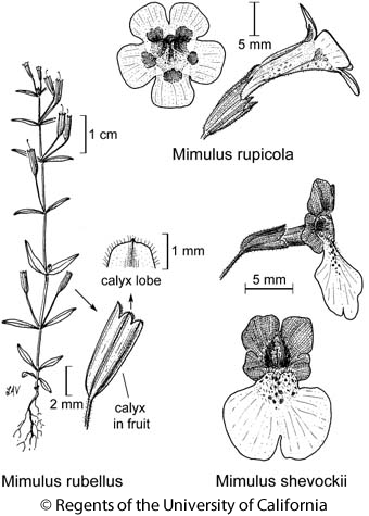 botanical illustration including Mimulus rubellus