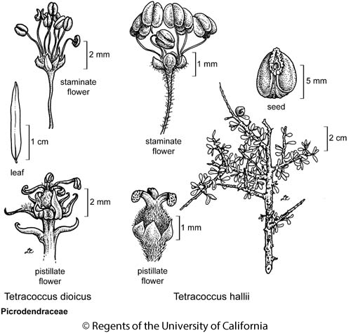 botanical illustration including Tetracoccus dioicus