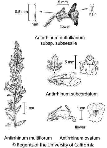 botanical illustration including Antirrhinum nuttallianum subsp. subsessile