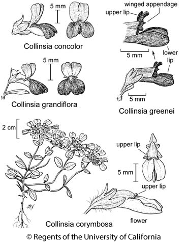 botanical illustration including Collinsia grandiflora
