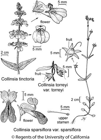 botanical illustration including Collinsia sparsiflora var. sparsiflora
