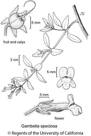 botanical illustration including Gambelia speciosa