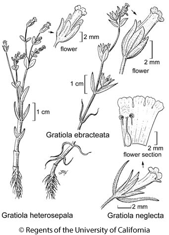 botanical illustration including Gratiola neglecta