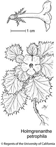 botanical illustration including Holmgrenanthe petrophila