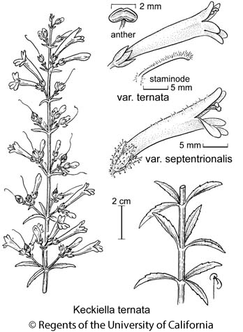 botanical illustration including Keckiella ternata var. septentrionalis