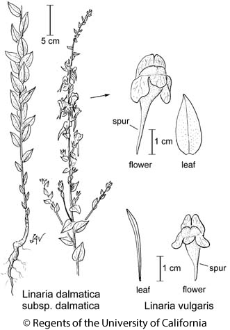 botanical illustration including Linaria dalmatica subsp. dalmatica