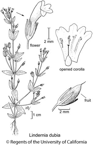 botanical illustration including Lindernia dubia