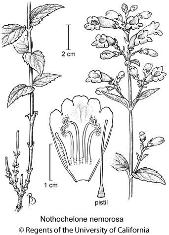 botanical illustration including Nothochelone nemorosa