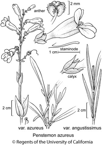 botanical illustration including Penstemon azureus var. angustissimus