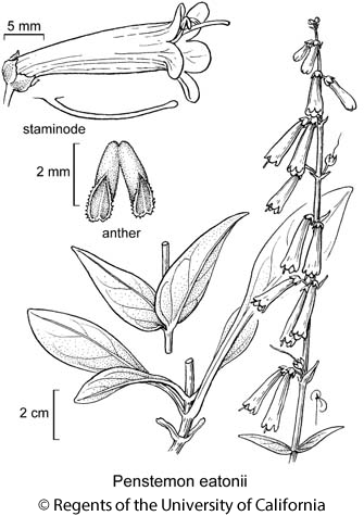 botanical illustration including Penstemon eatonii