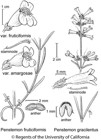 botanical illustration including Penstemon gracilentus