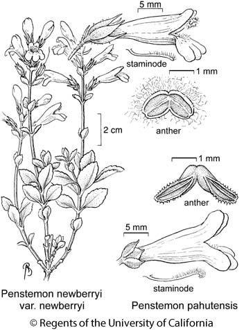 botanical illustration including Penstemon pahutensis