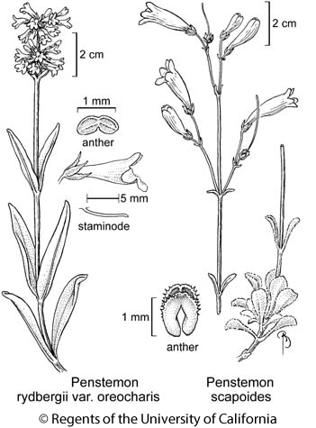 botanical illustration including Penstemon rydbergii var. oreocharis