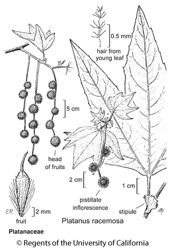 botanical illustration including Platanus racemosa