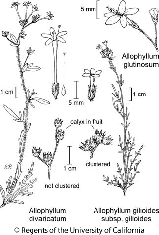 botanical illustration including Allophyllum glutinosum