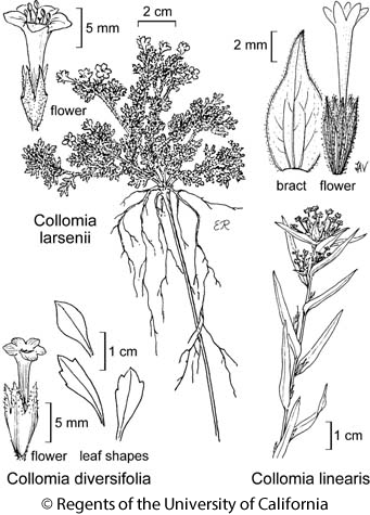 botanical illustration including Collomia larsenii