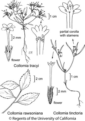botanical illustration including Collomia rawsoniana