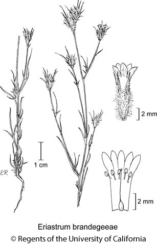botanical illustration including Eriastrum brandegeeae