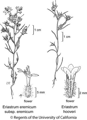 botanical illustration including Eriastrum eremicum subsp. eremicum