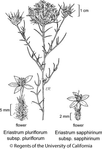 botanical illustration including Eriastrum sapphirinum subsp. sapphirinum