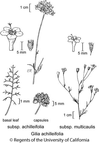 botanical illustration including Gilia achilleifolia subsp. multicaulis