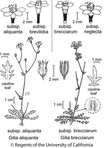 botanical illustration including Gilia brecciarum subsp. neglecta