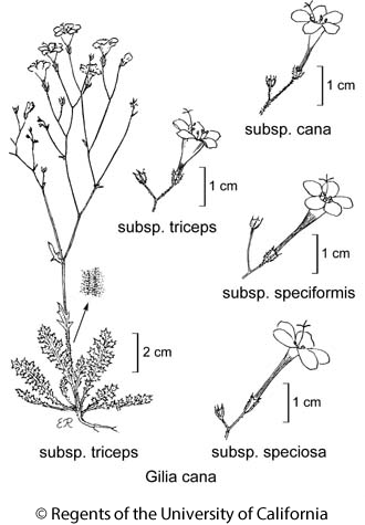 botanical illustration including Gilia cana subsp. speciformis