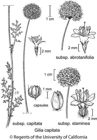 botanical illustration including Gilia capitata subsp. capitata