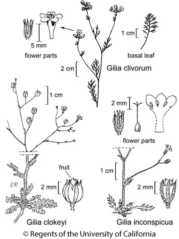 botanical illustration including Gilia clivorum