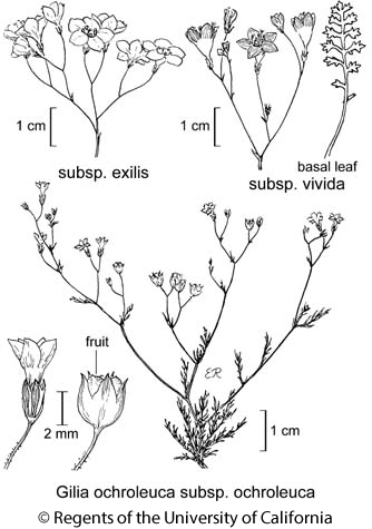 botanical illustration including Gilia ochroleuca subsp. vivida