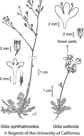botanical illustration including Gilia ophthalmoides