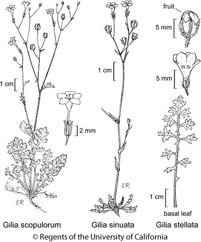 botanical illustration including Gilia sinuata