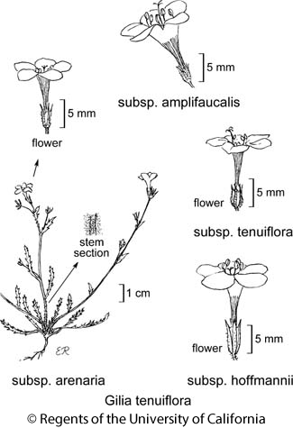 botanical illustration including Gilia tenuiflora subsp. amplifaucalis