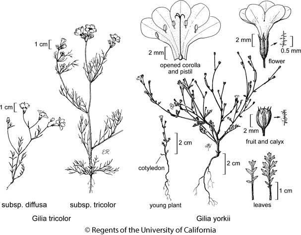 botanical illustration including Gilia yorkii