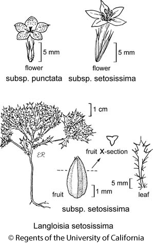 botanical illustration including Langloisia setosissima subsp. setosissima